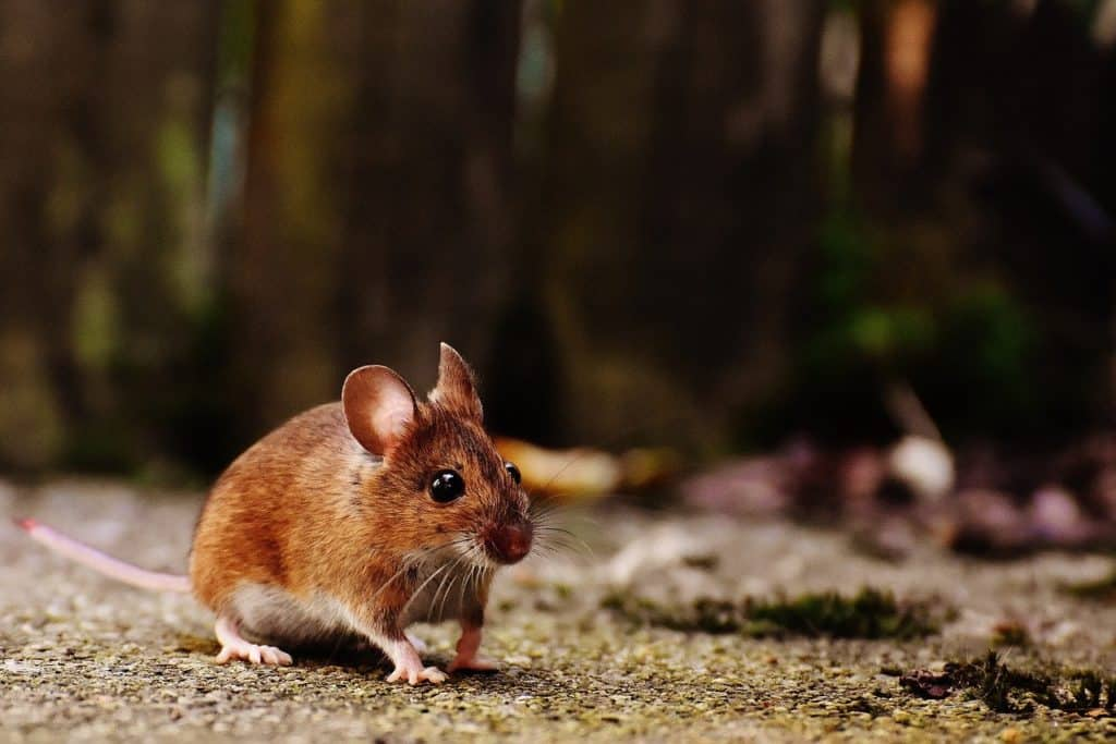 עכבר מטייל